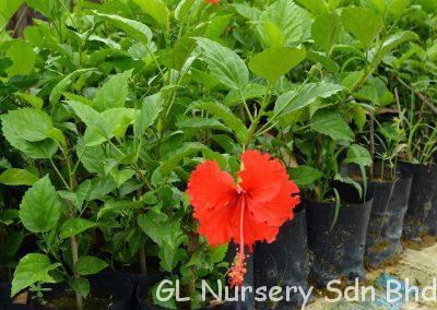 Hibiscus Rosa Sinensis_01