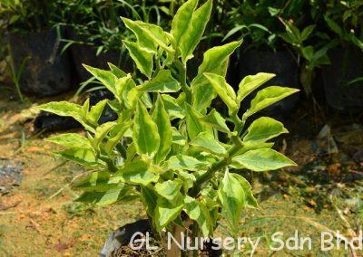 Pedilanthus Tithymaloides Var