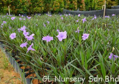 Ruellia Brittoniana Purple_02