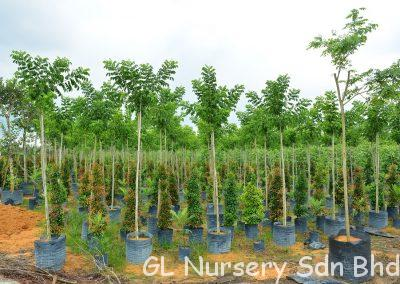 Arfeuillea Arborescens