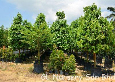Cinnamomum Iners4