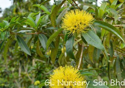 Xanthostemon Chrysanthus4